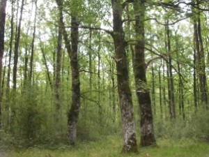 Robledal de Quercus robur (ClQr)